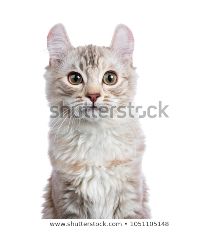 Stock photo: Head shot of Chocolate silver tortie tabby American curl cat / kitten