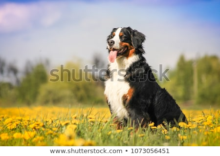 bouvier bernese mountain dog portrait in outdoors stock photo © lopolo