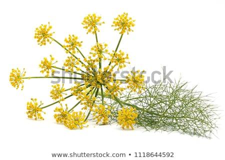 Finocchio fiori campo alimentare sfondo Foto d'archivio © bdspn
