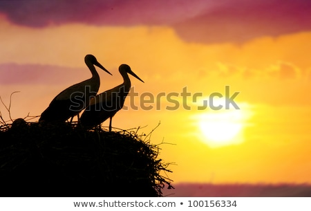 white stork mating ritual Stock photo © taviphoto