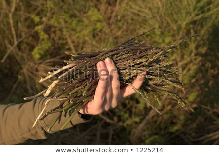 man with a bunch of wild asparagus Stock photo © nito