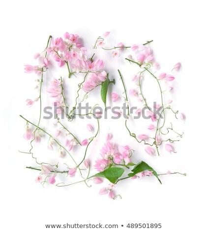 Antigonon leptopus Hook flower on white Stock photo © stoonn