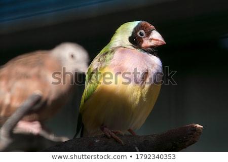 Australian gouldian finch native birds of Australia Stock photo © sherjaca