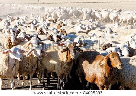 sheep herd castile and leon spain stock photo © phbcz