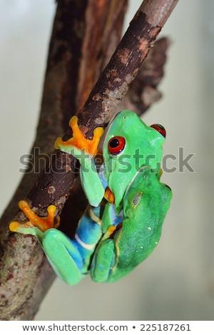 mating red eyed tree frogs stock photo © macropixel