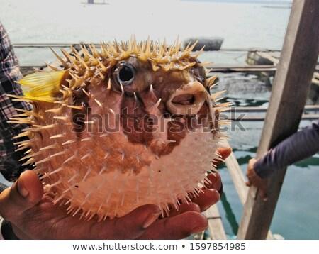 blowfish in black back Stock photo © prill