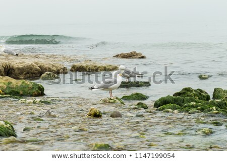 Zeemeeuw strand zeewier natuur zee Blauw Stockfoto © acidgrey