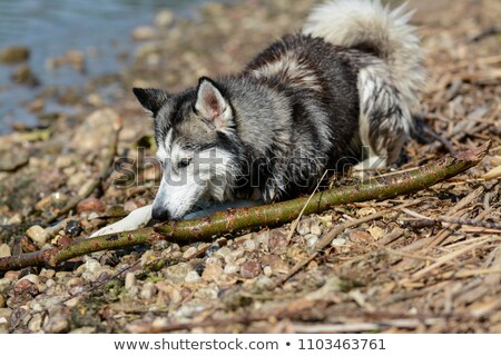 Siberian Husky chews branch stock photo © SKVORTSOVA