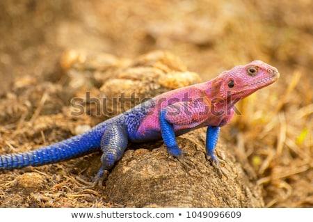 Stok fotoğraf: Lizard Blues From Wild Africa