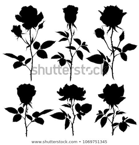 バラ シルエット 孤立した 白 花 テクスチャ ストックフォト © taden