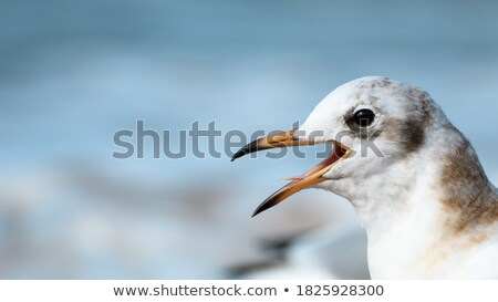 Grey-Headed Gull screaming Stock photo © davemontreuil