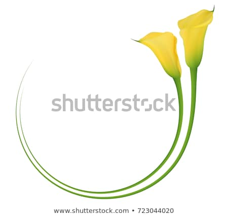 Yellow calla Stock photo © cla78