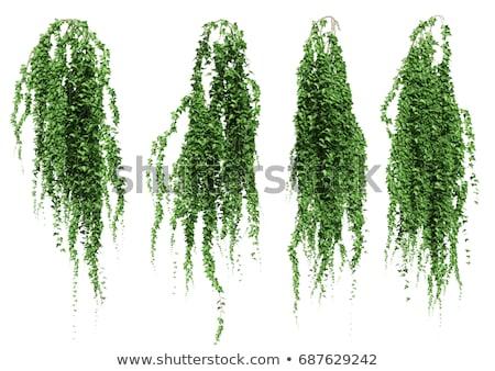 Groene klimop muur gedekt mooie voorjaar Stockfoto © ondrej83