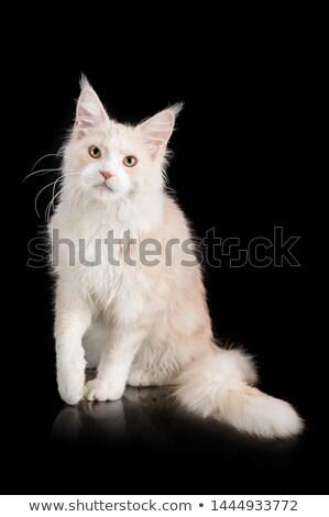 Kafa beyaz kabarık kedi yüz sevmek Stok fotoğraf © mikhail_ulyannik