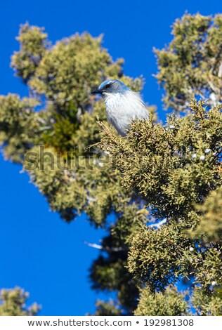 Scrub Jay Blue Bird Great Basin Region Animal Wildlife Stock photo © cboswell