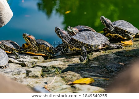 Freshwater turtle basking in the sun  Stock photo © AlessandroZocc