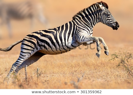 Zebras running in a herd