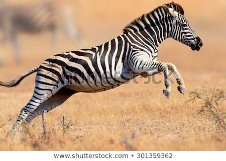 Courir zèbres Afrique courir savane Botswana Photo stock © romitasromala