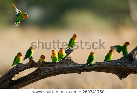 Birds of East Africa Stock photo © tracer