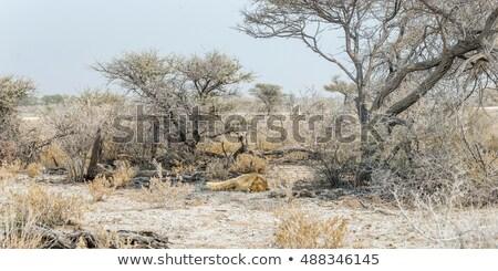 лев · саванна · мужчины · кровь · лице · еды - Сток-фото © hedrus