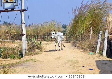 Foto stock: Vaca · caminhada · trilha · abrir · comida · sorrir