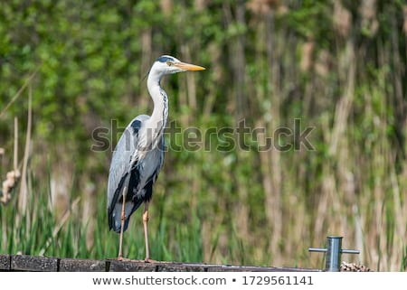 Grijs reiger permanente wal meer vogel Stockfoto © smuki