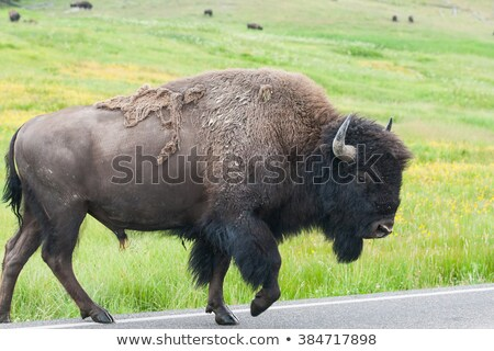 the typical american bison on the road yellowstone national par stock photo © capturelight