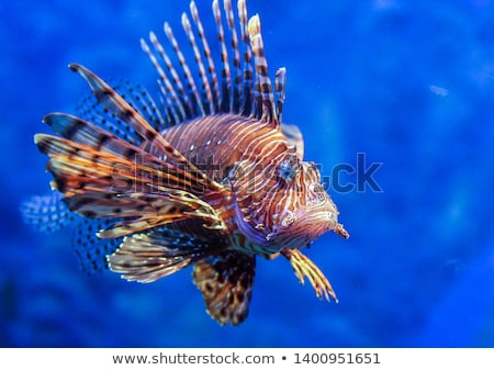 A lionfish Stock photo © bluering