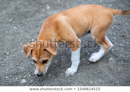 Stock photo: Puppy  cairn terrier sitting on the floor