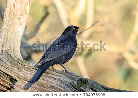 male of Common blackbird bird Stock photo © artush