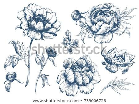 Peony flower illustration, drawing, engraving, line art Stock photo © JenesesImre