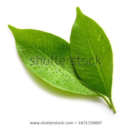 friss · tea · levelek · ág · izolált · fehér - stock fotó © joannawnuk