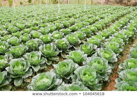 Rows of grown cabbages in Cameron Highland stock photo © tang90246