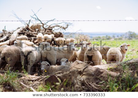 オーストラリア人 · ウール · 羊 · ファーム · 外 · ニューサウスウェールズ州 - ストックフォト © stephkindermann