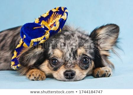 ストックフォト: スタジオ · ショートヘア · 犬 · 帽子 · 動物 · 子犬