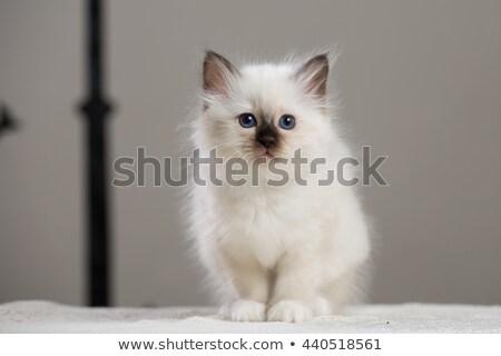 White sacred birman kitten Stock photo © Juhku
