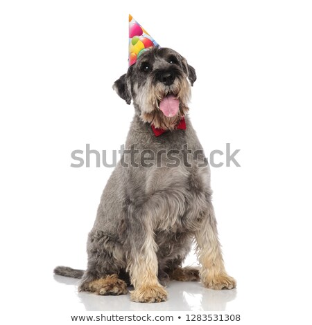 adorable schnauzer wearing bowtie and birthday hat pants Stock photo © feedough