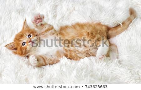 Fehér Maine kiscica macska ül fából készült Stock fotó © CatchyImages