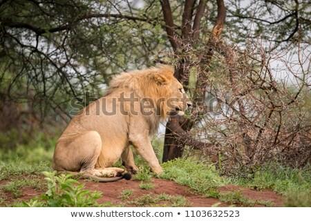 獅子 坐在 樹林 插圖 森林 背景 商業照片 © bluering