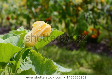 Male gourd flower grows above the lush foliage of a cucurbit pla Stock photo © sarahdoow