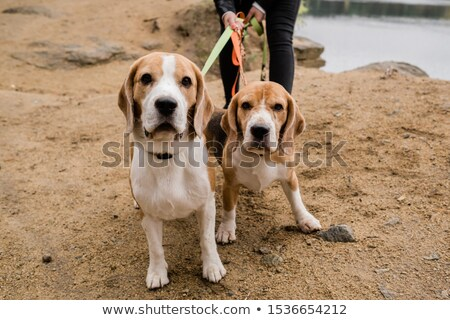 two cute beagle dogs with collars and leashes chilling with their owner stock photo © pressmaster