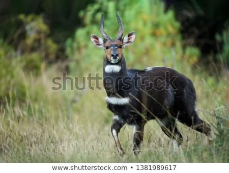 rare Menelik bushbuck, Ethiopia, Africa wilderness Stock photo © artush