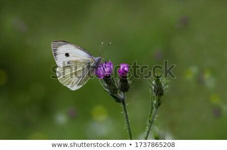 lagarta · repolho · borboleta · macro · natureza · planta - foto stock © asturianu