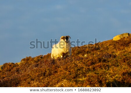 livestock in Scotland at evening time Stock photo © prill