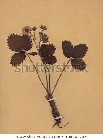 Scan klasszikus aszalt virág papír elavult Stock fotó © Melvin07