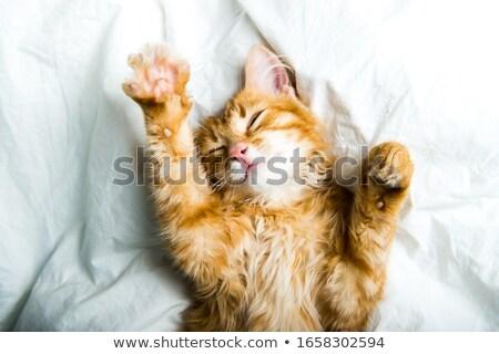 zencefil · beyaz · kedi · evcil · hayvan · oturma · çim - stok fotoğraf © bobhackett