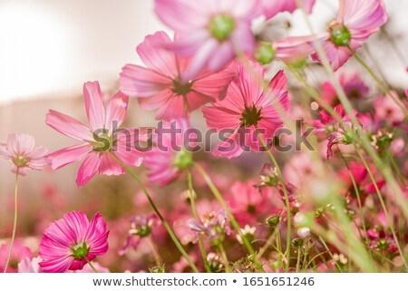 Purple Cosmos  flower Stock photo © stoonn
