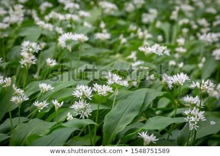 Woodland spring flowers Stock photo © grafvision