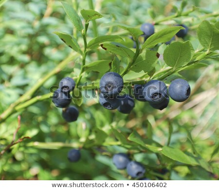 Bush of a ripe bilberry in the summer closeup  Stock photo © frank11