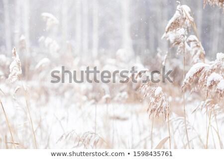 Streszczenie naturalnych wyschnięcia trawy śniegu zamrożone Zdjęcia stock © RuslanOmega